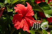 Hibiscus Flower Seeds And Seedlings Natural Flowers | Feeds, Supplements & Seeds for sale in Plateau State, Jos South