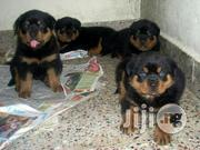 Perfect Security / Guard Dog Box Head Rottweiller Puppy / Puppies | Dogs & Puppies for sale in Lagos State, Ikeja