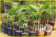 Kings Palm Garden And Ornamental Plants Decoration Plants | Garden for sale in Plateau State, Jos