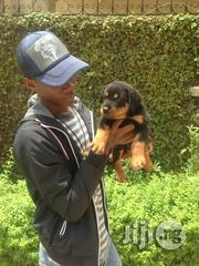 Young Male Purebred Rottweiler   Dogs & Puppies for sale in Oyo State, Ibadan North