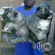 Caucasians From Heaven   Dogs & Puppies for sale in Lagos State, Lagos Mainland