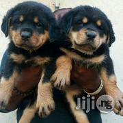 Massive Security / Guard Dog Rottweiler Puppy / Puppies for Sale | Dogs & Puppies for sale in Lagos State, Apapa