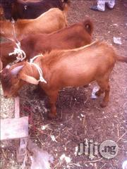 Goats And Rams (Ready To Eat) For Sale   Livestock & Poultry for sale in Katsina State, Batsari