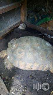 Tortoise For Sale | Reptiles for sale in Lagos State, Lagos Mainland