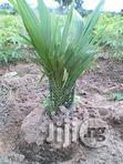 Oil Palm Seedlings For Sale   Feeds, Supplements & Seeds for sale in Sagamu, Ogun State, Nigeria