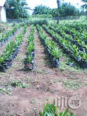 Oil Palm Seedlings For Sale | Feeds, Supplements & Seeds for sale in Ogun State, Sagamu