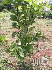 High Breed Budded Citrus/Oranges | Garden for sale in Ogun State, Sagamu