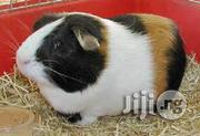 Beautiful Guinea Pigs | Livestock & Poultry for sale in Oyo State, Akinyele