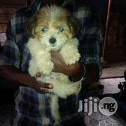Cute Lahsa Puppy for Sale   Dogs & Puppies for sale in Abuja (FCT) State, Gwagwalada