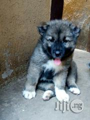 Pure Caucasian for Sale   Dogs & Puppies for sale in Abuja (FCT) State, Gwagwalada