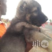 Baby Female Purebred Caucasian Shepherd Dog   Dogs & Puppies for sale in Abuja (FCT) State, Gwagwalada