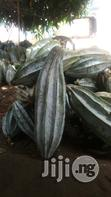 Hybrid Fluted Pumpkin Ugu Calabar Pods | Feeds, Supplements & Seeds for sale in Abak, Akwa Ibom State, Nigeria
