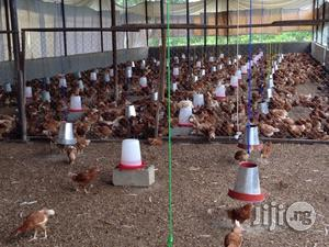 Point Of Lay Chicken For Sale