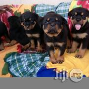 Superior Box Head German Rottweiler Puppy / Puppies Top Security Dog | Dogs & Puppies for sale in Lagos State, Kosofe