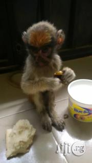 Baby Africa Yellow Monkey | Other Animals for sale in Abuja (FCT) State, Nyanya