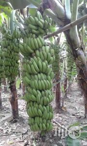 Hybrid Giant Cavandish Banana Suckers/Plantlets | Feeds, Supplements & Seeds for sale in Akwa Ibom State, Abak