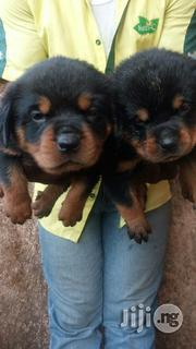 Box Head Rottweiler Puppies Available! | Dogs & Puppies for sale in Lagos State, Lagos Mainland