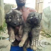Caucasian for Sale   Dogs & Puppies for sale in Abuja (FCT) State, Gwagwalada