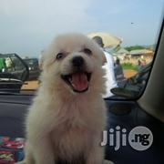 Samoyed Puppies Available for Sale   Dogs & Puppies for sale in Abuja (FCT) State, Gwagwalada