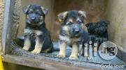 Pedigree Slant Back German Shepherd Pups For Sale | Dogs & Puppies for sale in Lagos State, Ikeja