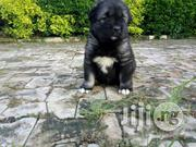 Cuacasian Pupppy From (Nadisxworld Pets) | Dogs & Puppies for sale in Abuja (FCT) State, Wuse