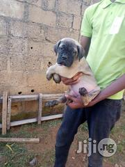 Security Dog - Bull Mastiff Puppies   Dogs & Puppies for sale in Lagos State, Surulere