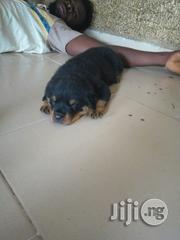 Security Dog- Boxhead Rottweiler Puppy | Dogs & Puppies for sale in Lagos State, Surulere